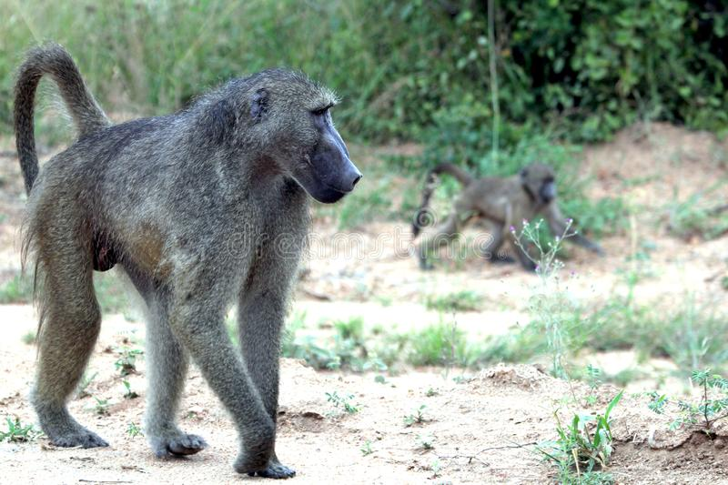 Baboon monkey with cub royalty free stock photos