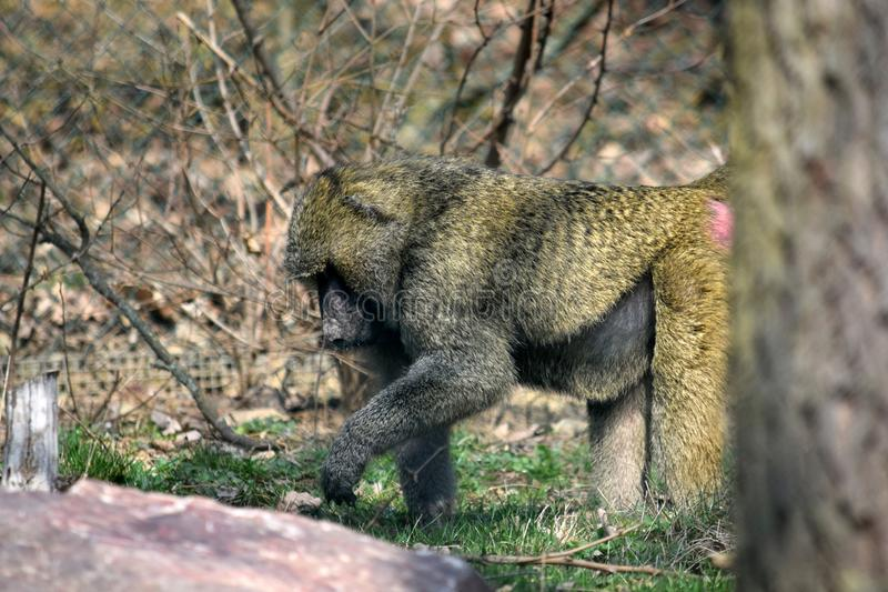 Baboon Monkey Papio Anubis Closeup Portrait royalty free stock image