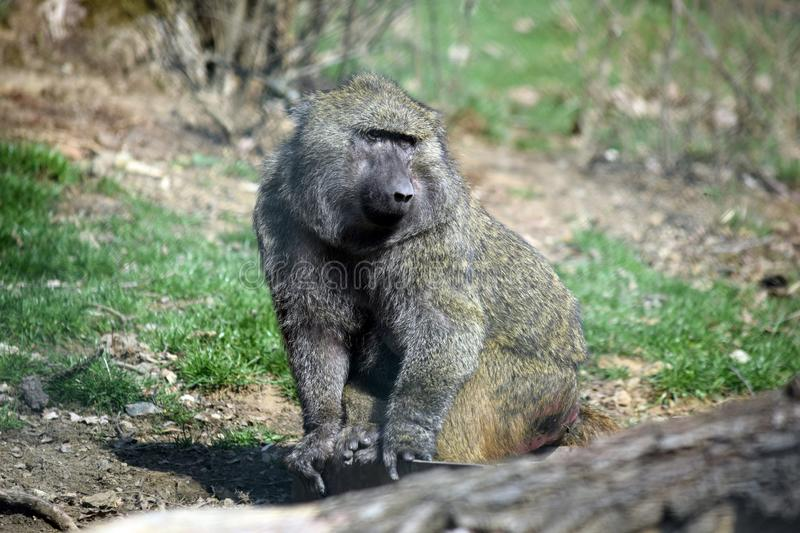 Baboon Monkey Papio Anubis Closeup Portrait stock photos