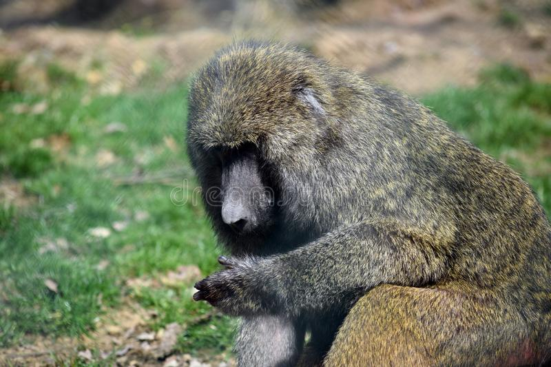 Baboon Monkey Papio Anubis Head Closeup Portrait Sitting stock image