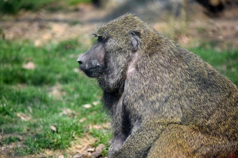 Baboon Monkey Papio Anubis Head Closeup Portrait Sitting royalty free stock photography