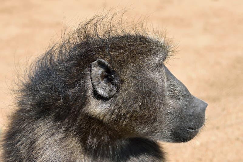 Baboon monkey portrait. Portrait fo african baboon monkey, Namibia stock images