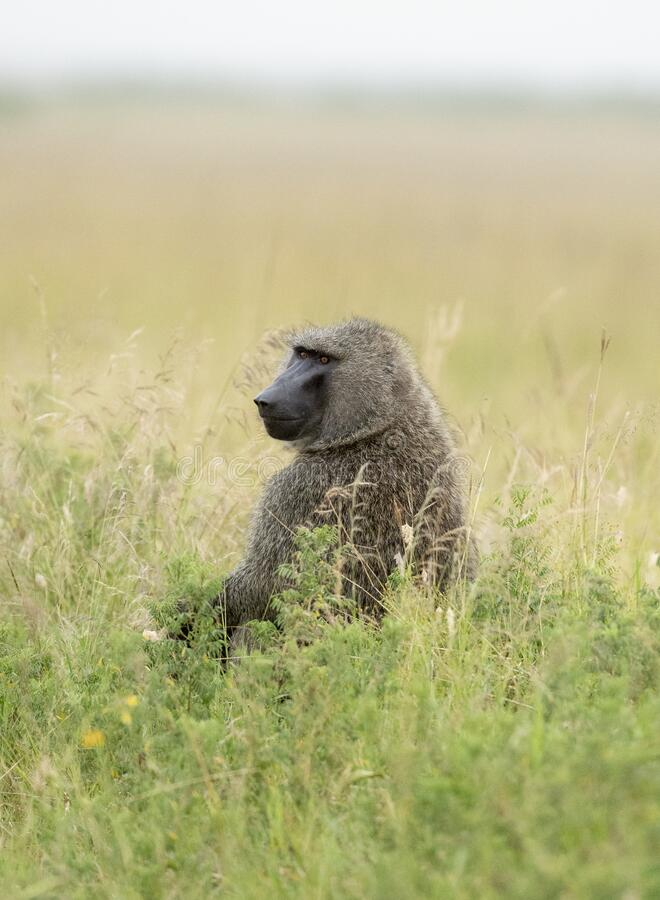 Baboon Monkey sitting in green grass at Masai Mara, Kenya. Africa royalty free stock images