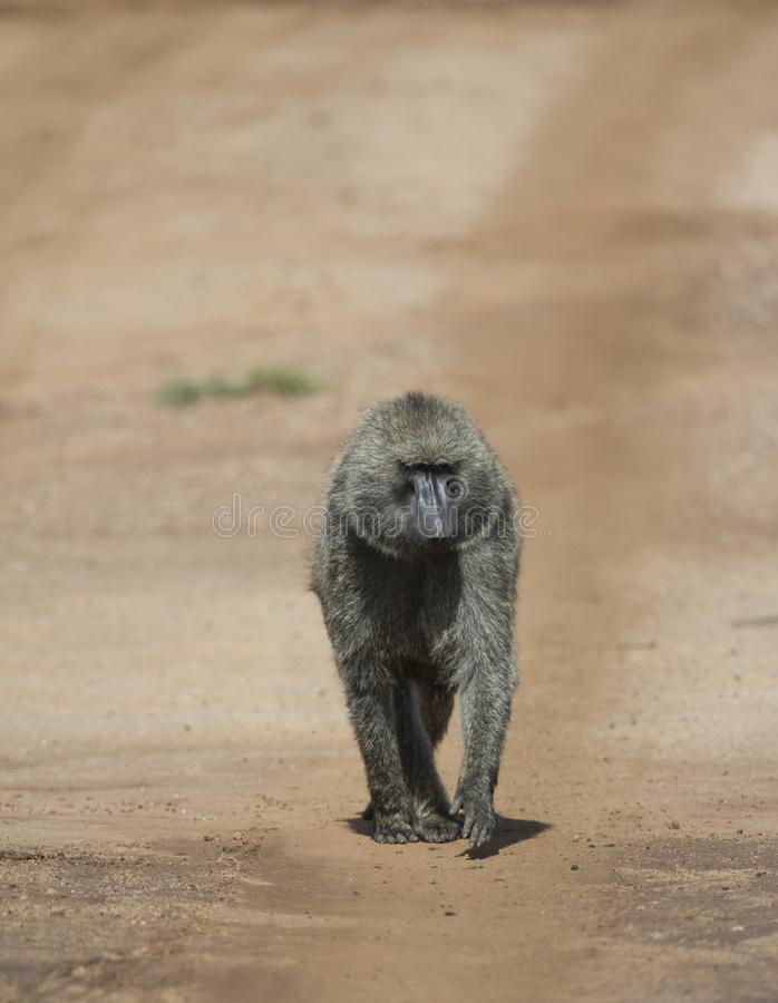 Baboon Monkey walking on a safari Trail at Masai Mara National Park stock photo