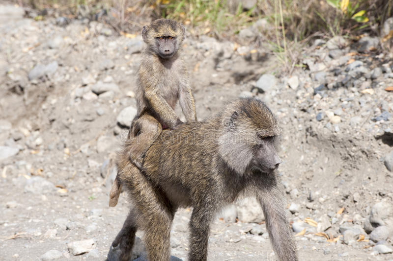 Baboon mother with baby on the back. The baboon mother protects her baby on the back royalty free stock images