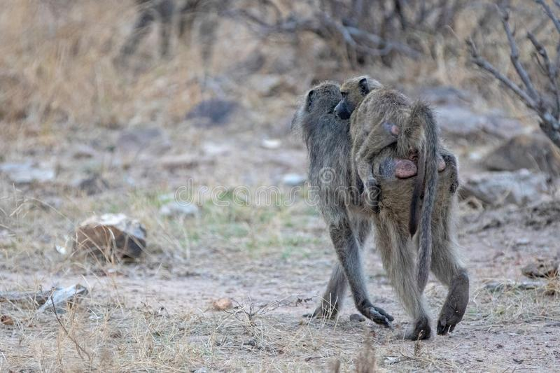 Baboon mother carrying baby on back in Kruger National Park in South Africa stock image