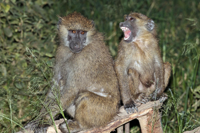 Download Baboon Mother And Her Baby Sitting On A Tree Stock Photo - Image: 15610322