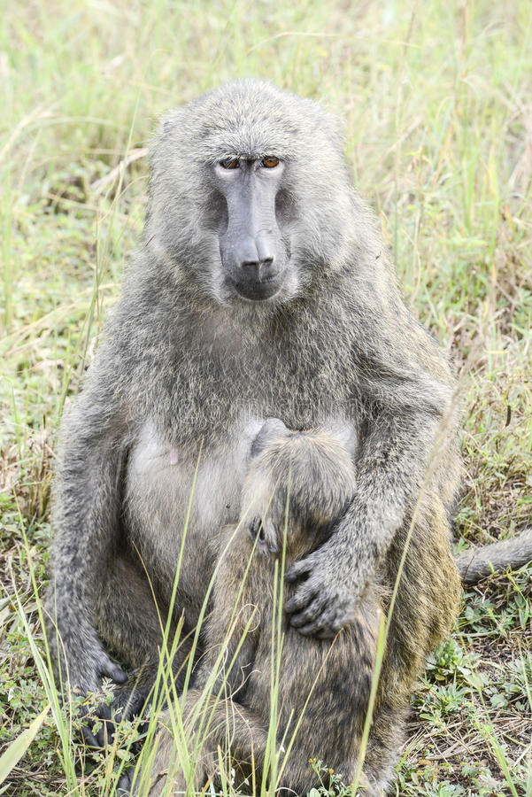 Baboon Mother Protects Suckling Baby Royalty Free Stock Photography
