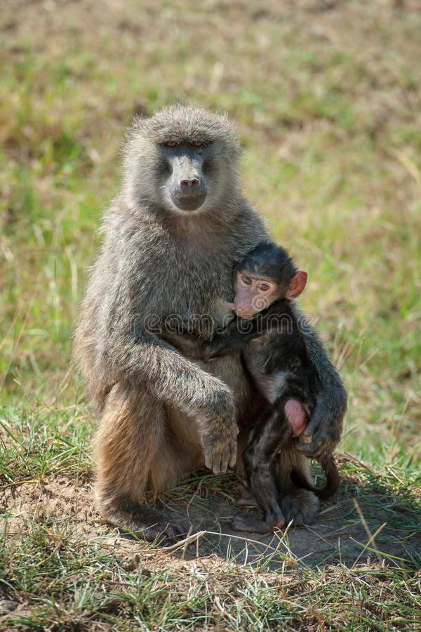 Baboon in National park of Kenya. Africa royalty free stock image
