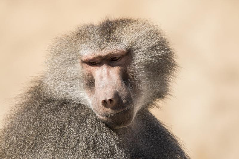 Baboon, Papio, ένα πορτρέτο στοκ φωτογραφία με δικαίωμα ελεύθερης χρήσης