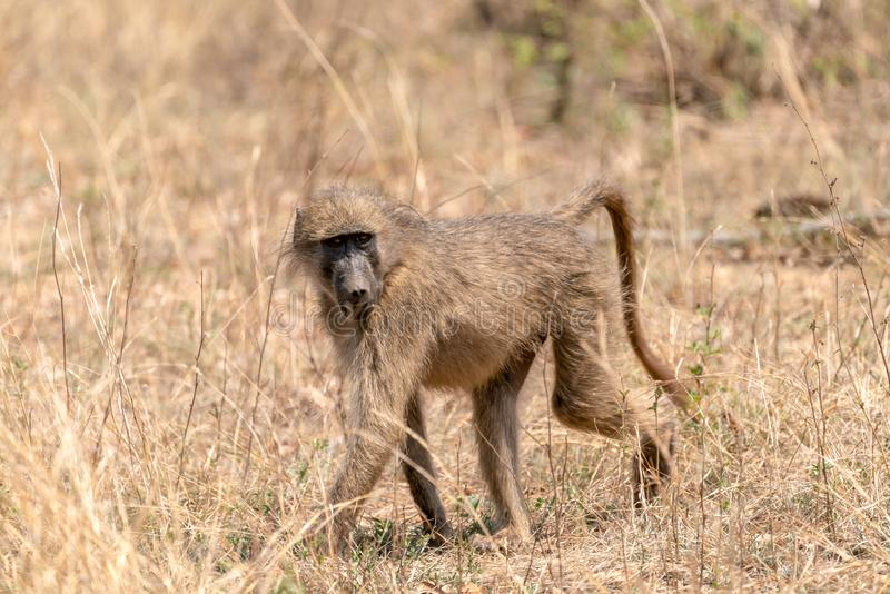 Baboon (Papio anubis) taken in Kruger Park, South Africa royalty free stock image