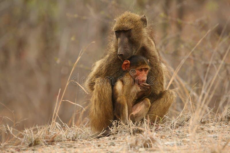 Baboon Papio ursinus mother hugs young cute baboon baby. Mother love. stock photography