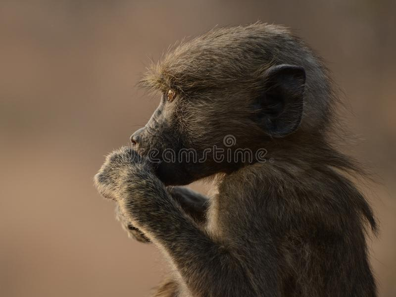 Baboon Portrait. This is a little baboon. The photo i can make in south Africa stock photos