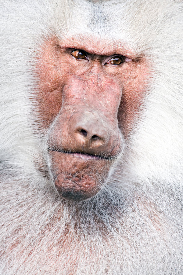 Free Baboon Portrait Royalty Free Stock Images - 5954759