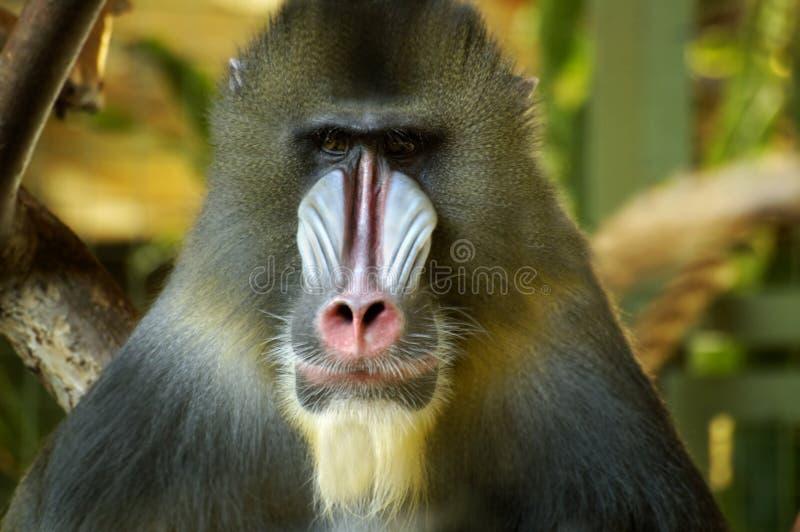 Baboon Portrait stock photos