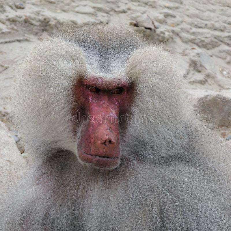 Baboon portrait closeup royalty free stock images