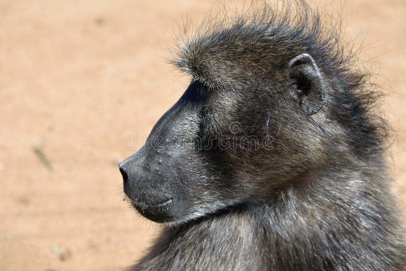 Baboon portrait, Namibia royalty free stock photography
