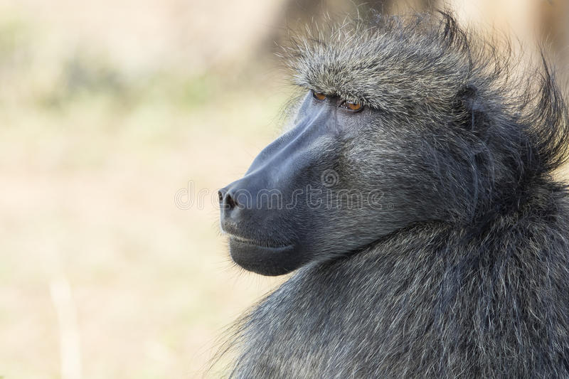 Baboon portrait South Africa. A Baboon portrait South Africa stock image