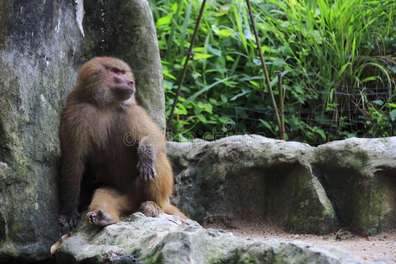 Download Baboon 3 stock photo. Image of prey, monkey, primates - 30495992