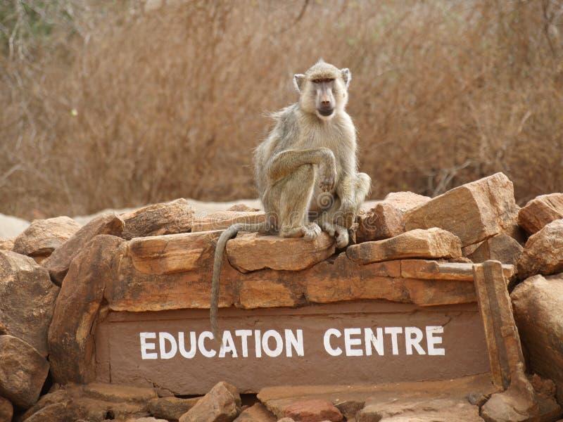 Baboon on a rock royalty free stock photos