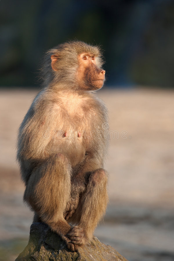 Download Baboon On A Rock Royalty Free Stock Photo - Image: 3656575