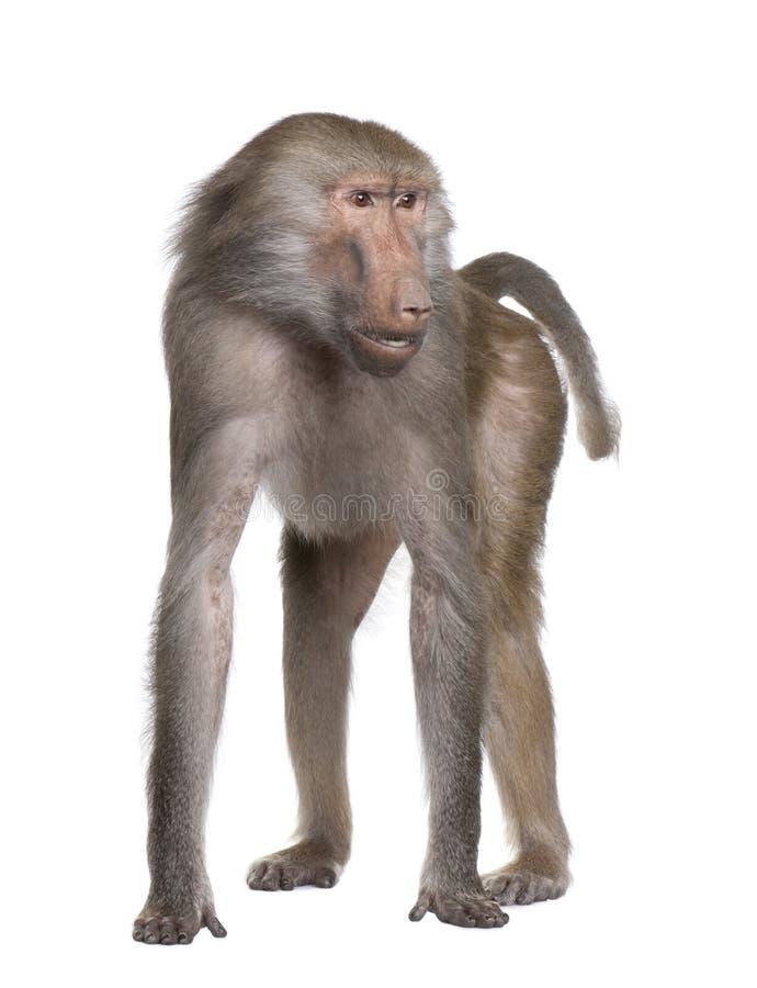 Free Baboon - Simia Hamadryas Royalty Free Stock Images - 9332679