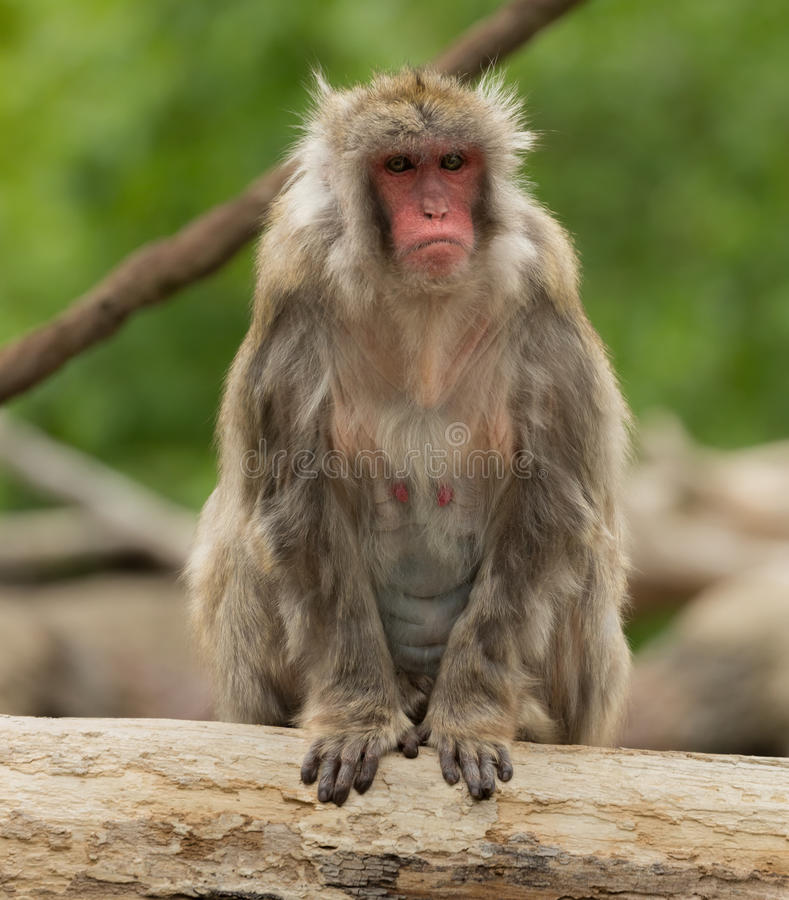 Baboon sitting on branch. Close up of adult baboon sitting on tree branch outdoors stock image