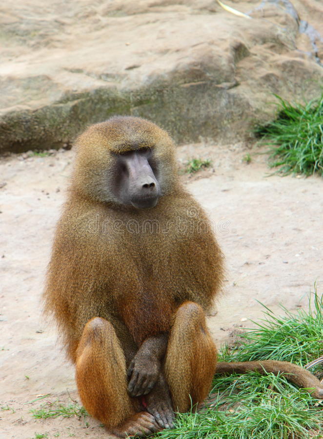 Baboon. A Baboon sitting down with a grass and sand background stock photos
