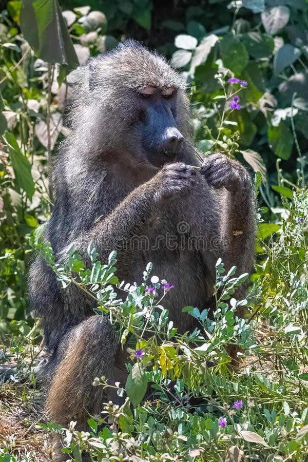 Baboon sitting stock image