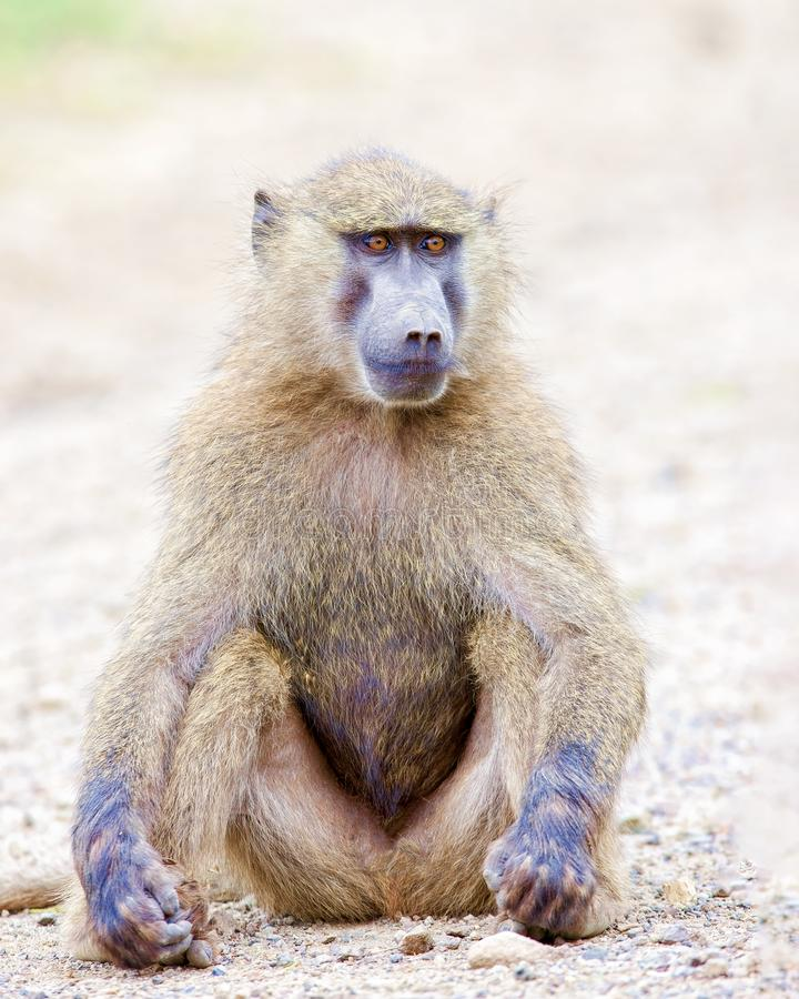 Baboon sitting in the sand. royalty free stock images