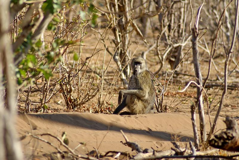 Baboon sitting on the ground. Baboon sitting on a small hill in Chobe National Park, Botswana royalty free stock photo