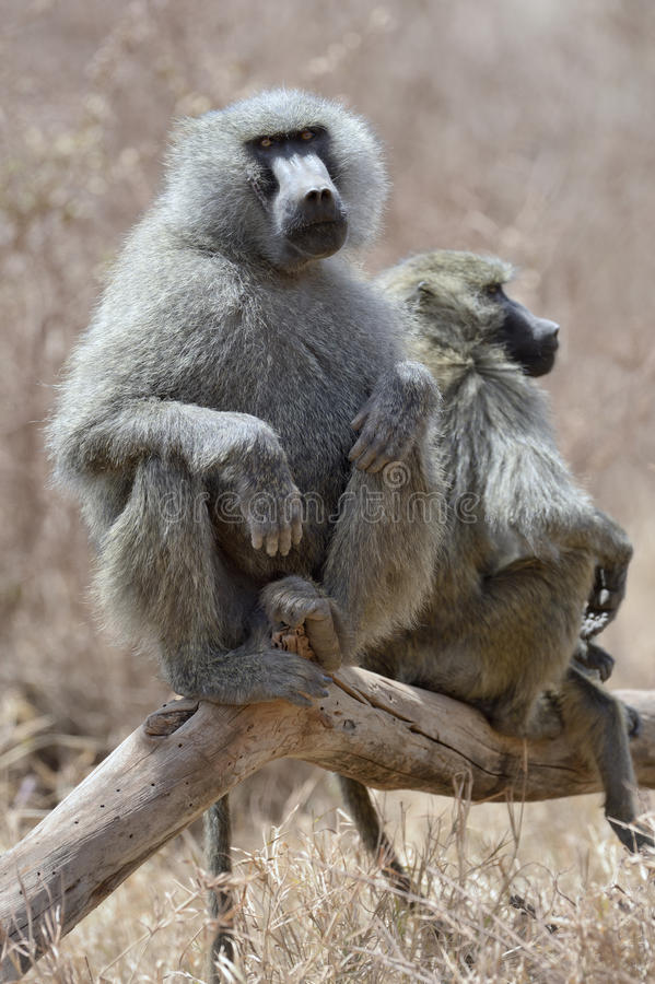 Baboon sitting on tree stock photography