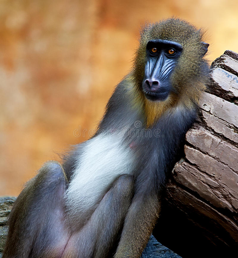 Baboon. A baboon at Sunway Wildlife Park in Malaysia royalty free stock photo