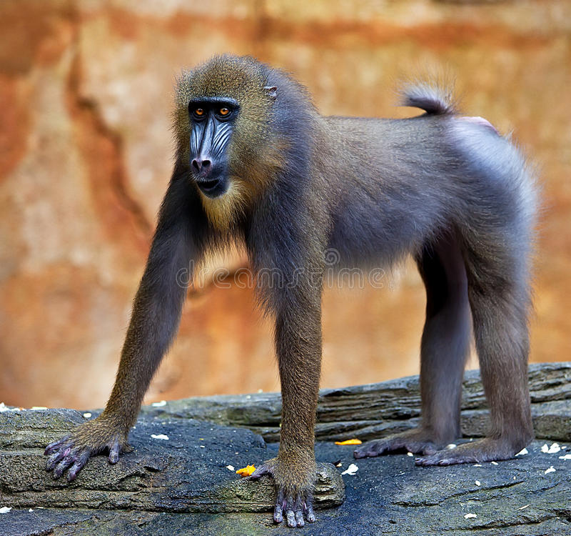 Baboon. A baboon at Sunway Wildlife Park in Malaysia royalty free stock photography