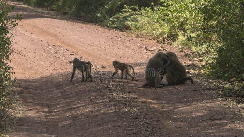 Baboon in Tanzania stock photos