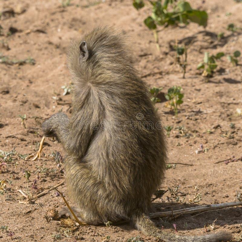 Baboon in Tanzania stock photography