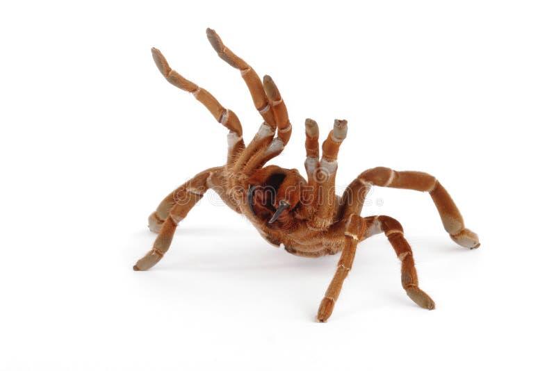 baboon tarantula βασιλιάδων crawshayi citharischius στοκ εικόνα με δικαίωμα ελεύθερης χρήσης