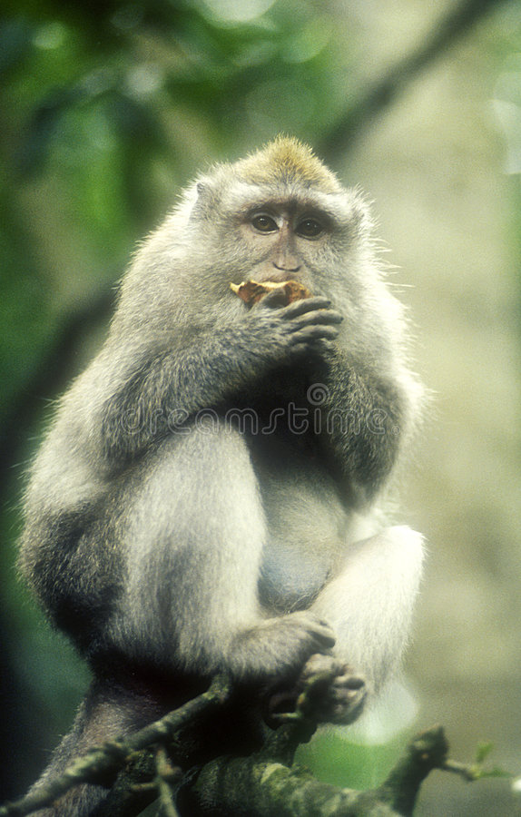 Baboon in tree-grainy image. Baboon in zoo eating fruit stock photography