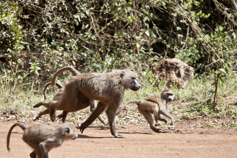 Baboon Troop Royalty Free Stock Photo