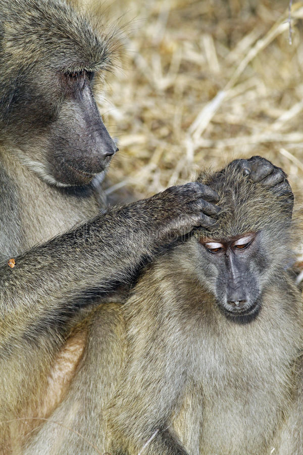 baboon ursinus papio cynocephalus chacma στοκ εικόνες