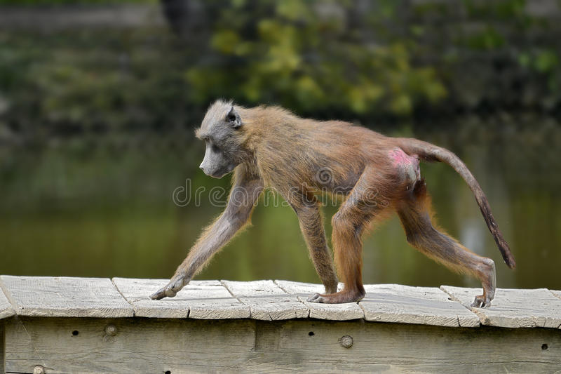 Baboon walking on wooden plancks royalty free stock photography