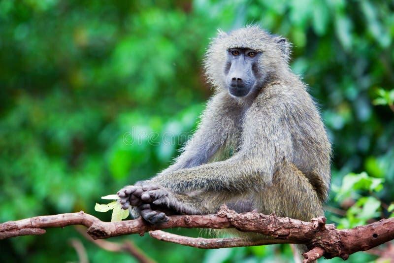 Baboonapa i afrikansk buske fotografering för bildbyråer