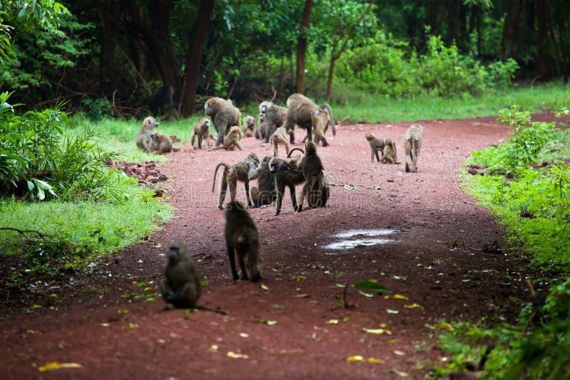 Baboonapor i afrikansk buske royaltyfri fotografi