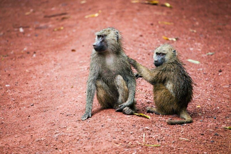 Baboonapor i afrikansk buske royaltyfria foton