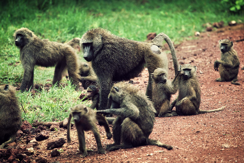 Baboonapor i afrikansk buske royaltyfria bilder