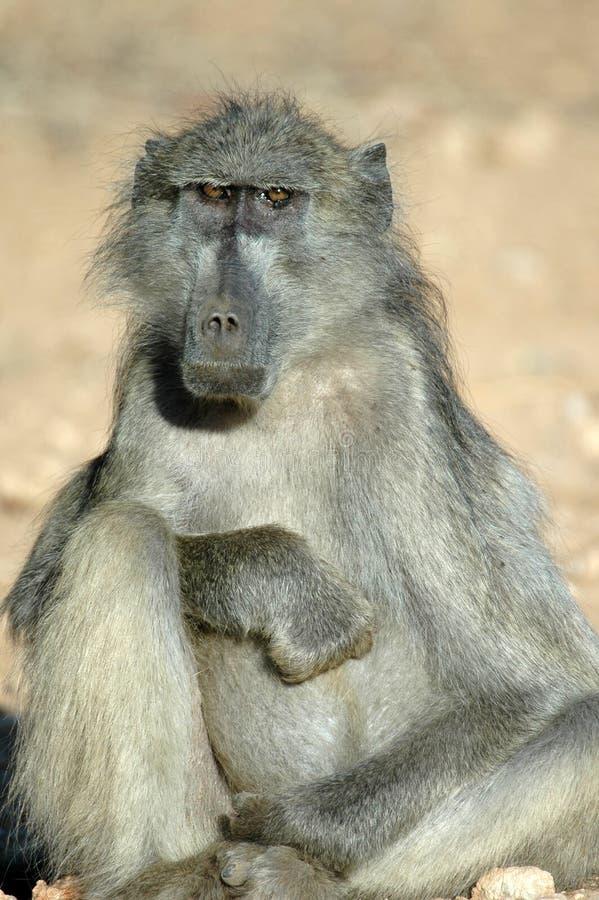 baboonchacma arkivfoto