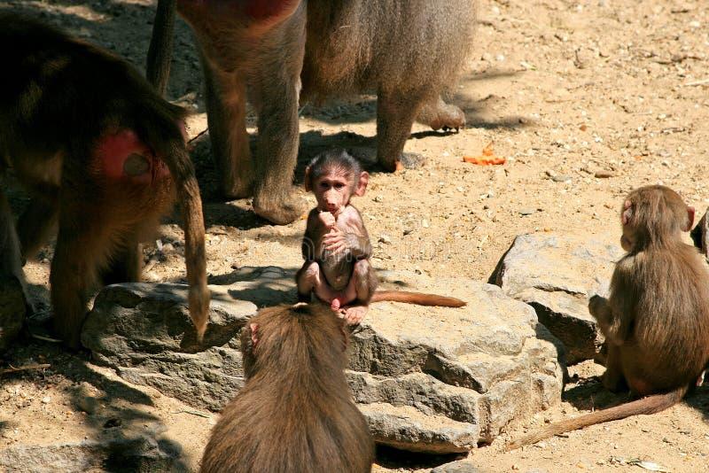 baboonen behandla som ett barn familjen royaltyfria foton