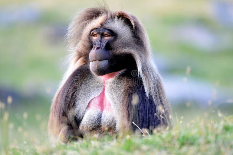 baboongelada royaltyfria bilder