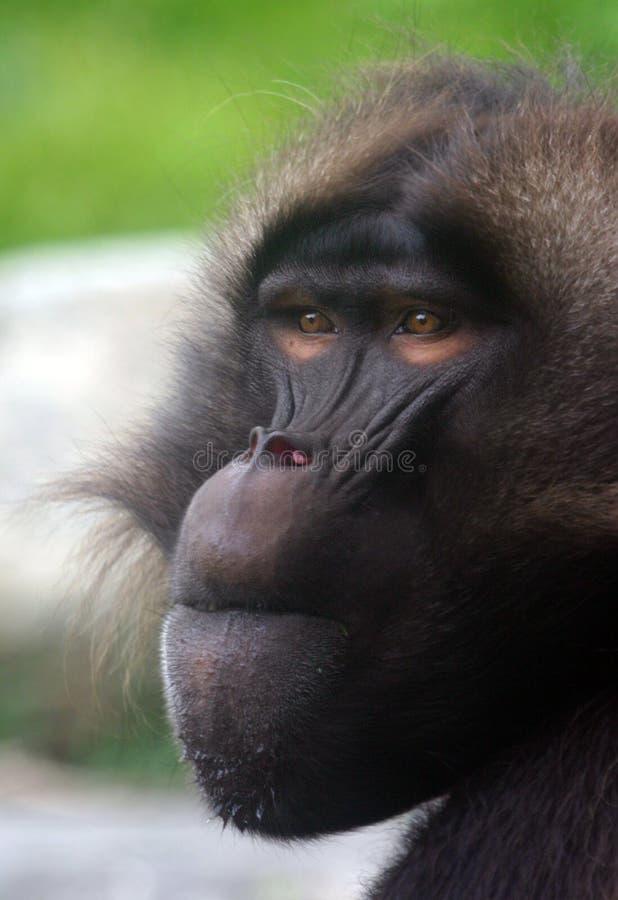 Download Baboongeladamanlig fotografering för bildbyråer. Bild av apor - 283559