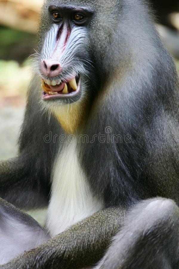 Baboonmandrill Arkivfoto